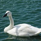 Whistling Swan by Ray Vaughan