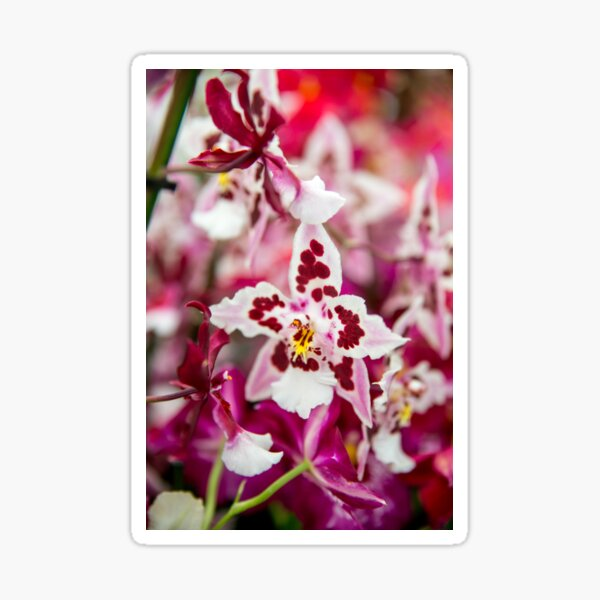 White and Red Orchid Sticker