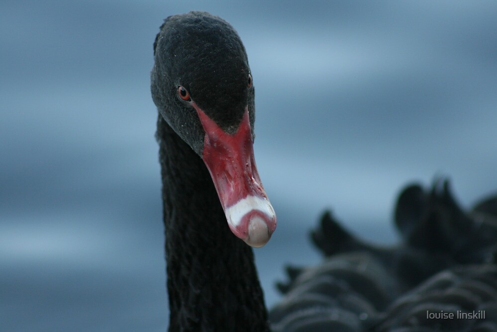black swan up close by louise linskill