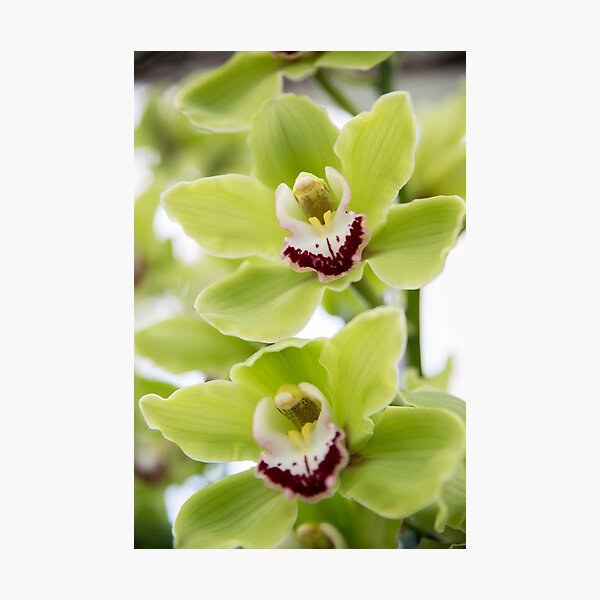 Green Orchid Photographic Print