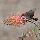 Scarlet Honeyeater-2028   by Barbara Harris