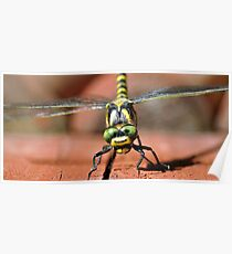Golden-ringed Dragonfly Poster