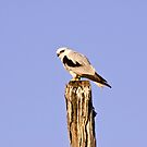 Black Shouldered Kite by Stephen  Nicholson