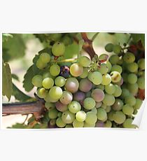 Winery Grapes Poster