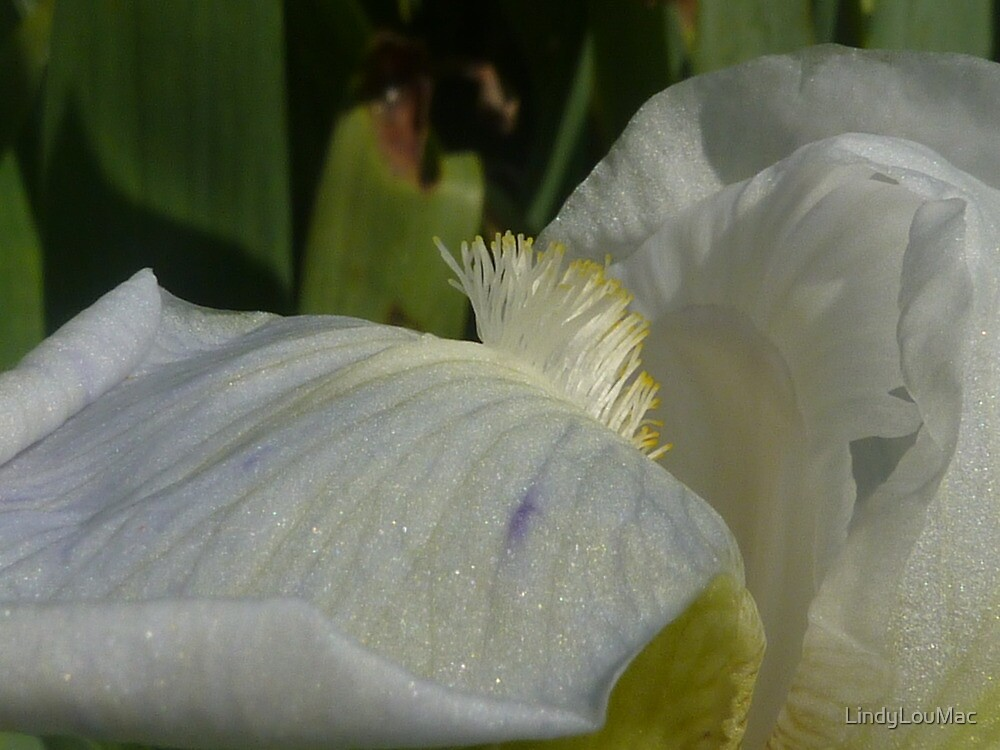 Iris Macro by LindyLouMac