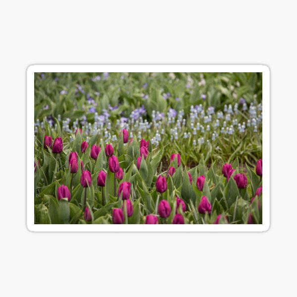 Blue and red Tulip flower field Sticker