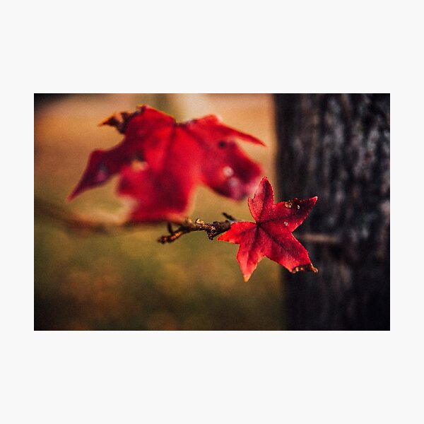 Scarlet Tree Leaf Photographic Print