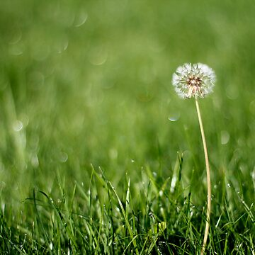 Lonely dandelion by ClickSnapShot