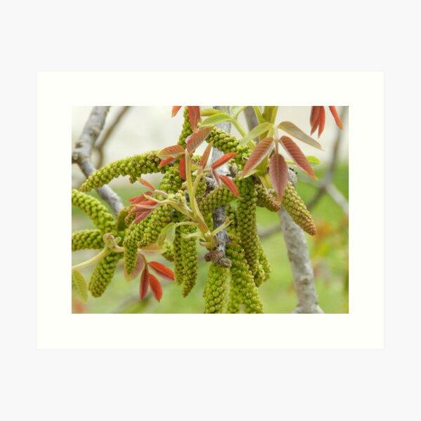 Walnut Tree Blossom Art Print