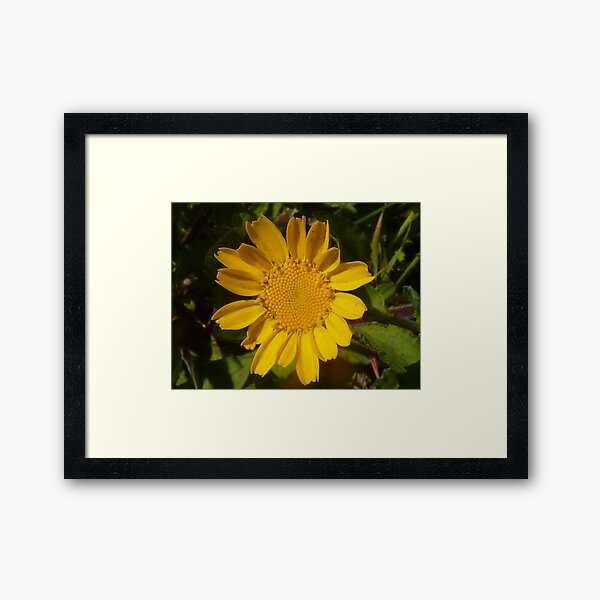 Yellow Daisy Framed Art Print