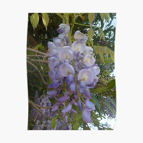 Wisteria Blossom Poster