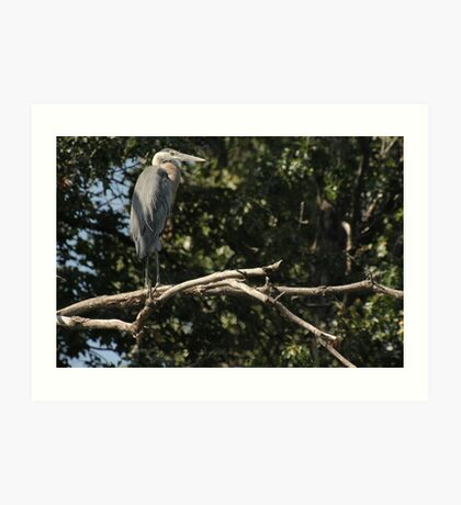 Great Blue Heron on the Wisconsin River Art Print