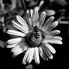 Sunflower #1 by Sam Davis