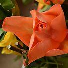 star rose by Jemma Richards