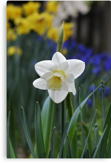 white daffodil by Kylie Mckay
