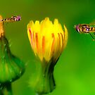 Hover Flies by Todd Kluczniak