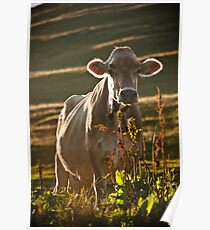 Grazing white cow Poster