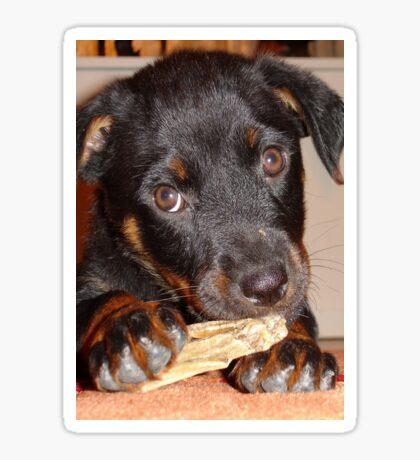 Rottweiler Puppy Chewing a Treat Sticker