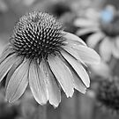Echinacea in Black and White by Bo Insogna
