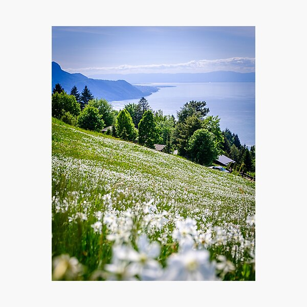 Meadow full of narcissi in Switzerland Photographic Print