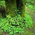 Oregon Oxalis by Jess Meacham