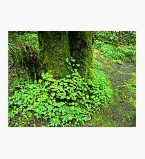 Oregon Oxalis Photographic Print