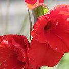 Red Gladiola by VJSheldon