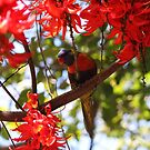 Rainbow Lorikeet in heaven by robmac