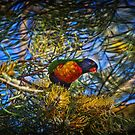 Colourful lorikeet in an equally colourful grevillea by Kim Austin