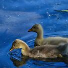 Ducklings exploring by Kim Austin