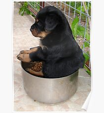 Rottweiler Puppy Sitting In A Bowl Of Food Poster