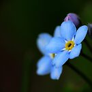 Forget-Me-Nots 10 by photonista