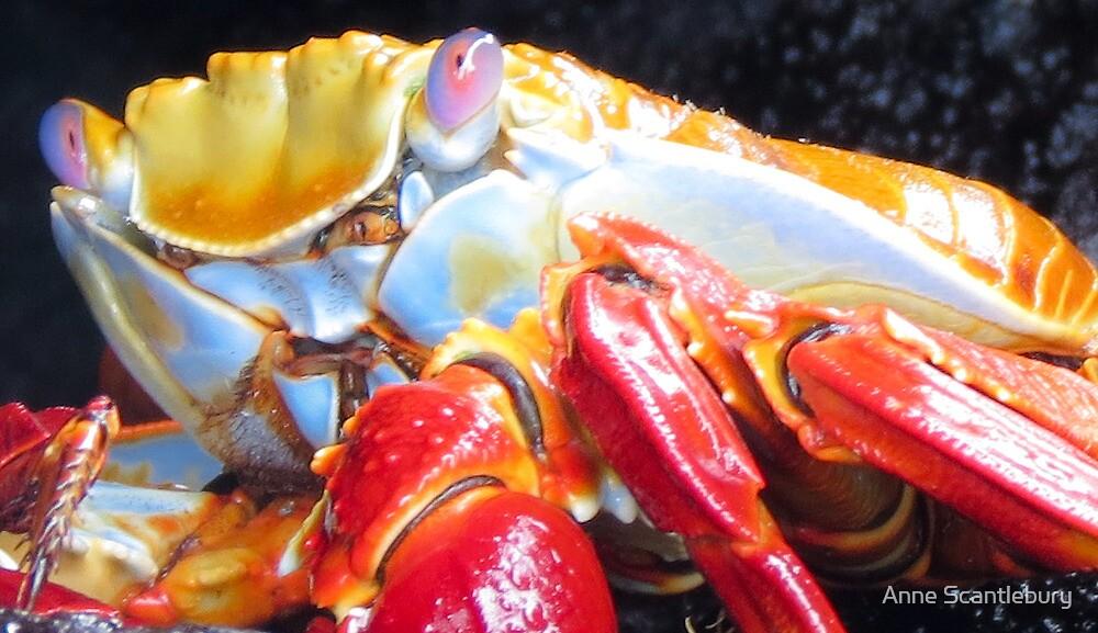 Sally lightfoot crab 2. by Anne Scantlebury