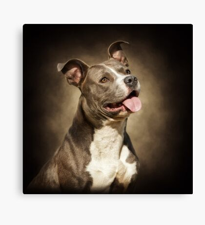 The American Blue Pit-Bull Canvas Print