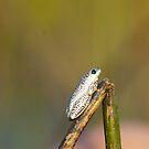 Painted Reed Frog by JagiShahani