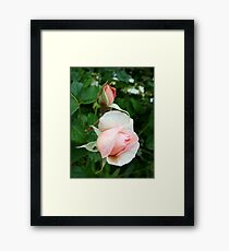 light pink rose flowers Framed Print