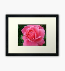 pink rose flower, floral nature photography. Framed Print
