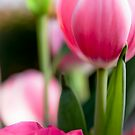 Tulips by Ryan Carter