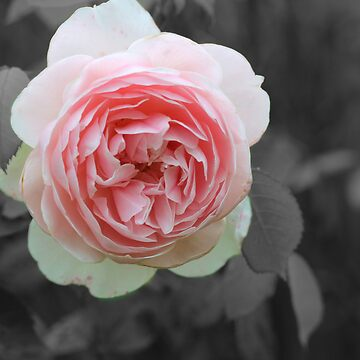 The Rose by NebTheThird
