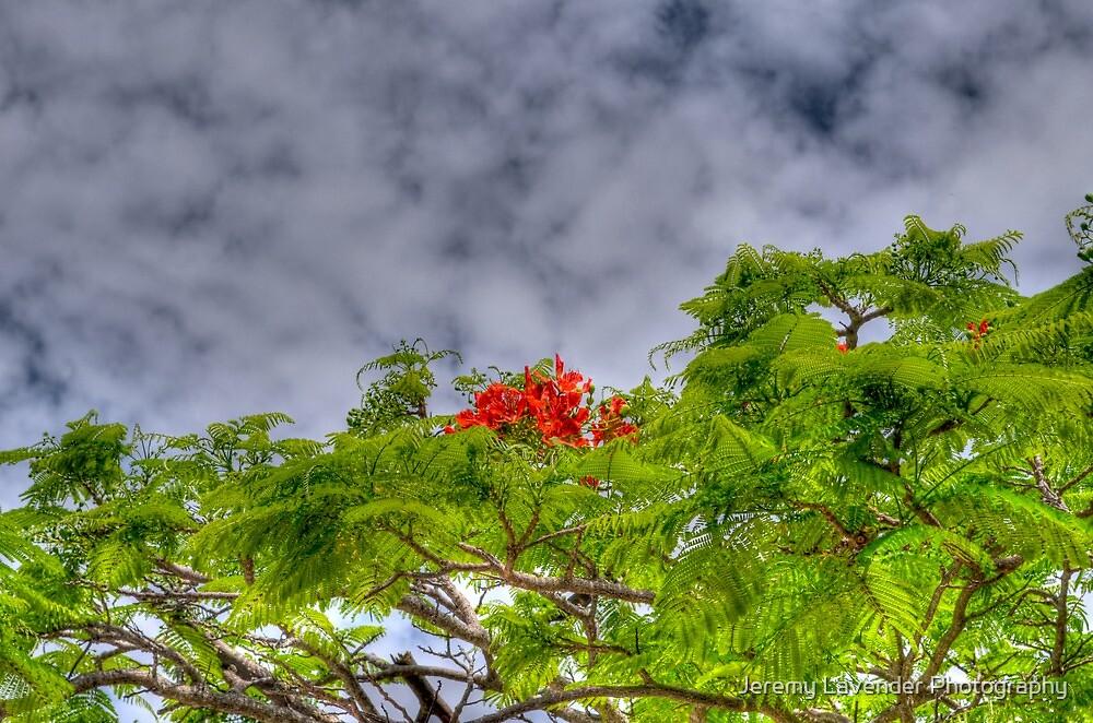 Royal Poinciana Tree (Flamboyant) in Nassau, The Bahamas by Jeremy Lavender Photography