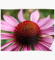 A Burst of Echinacea. (View Larger) Poster
