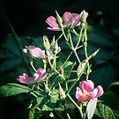 Wild Rose by Veronica Schultz