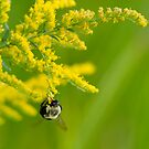 bumble bee hard at work by olivera kenic