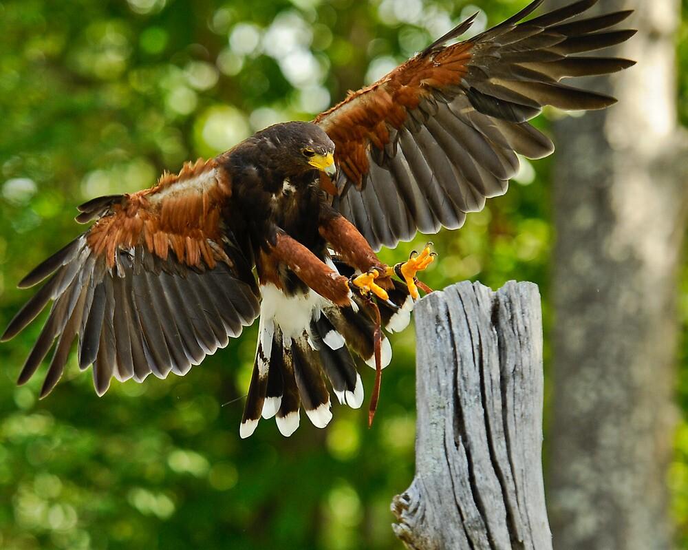 Harris Hawk by Saddleguy