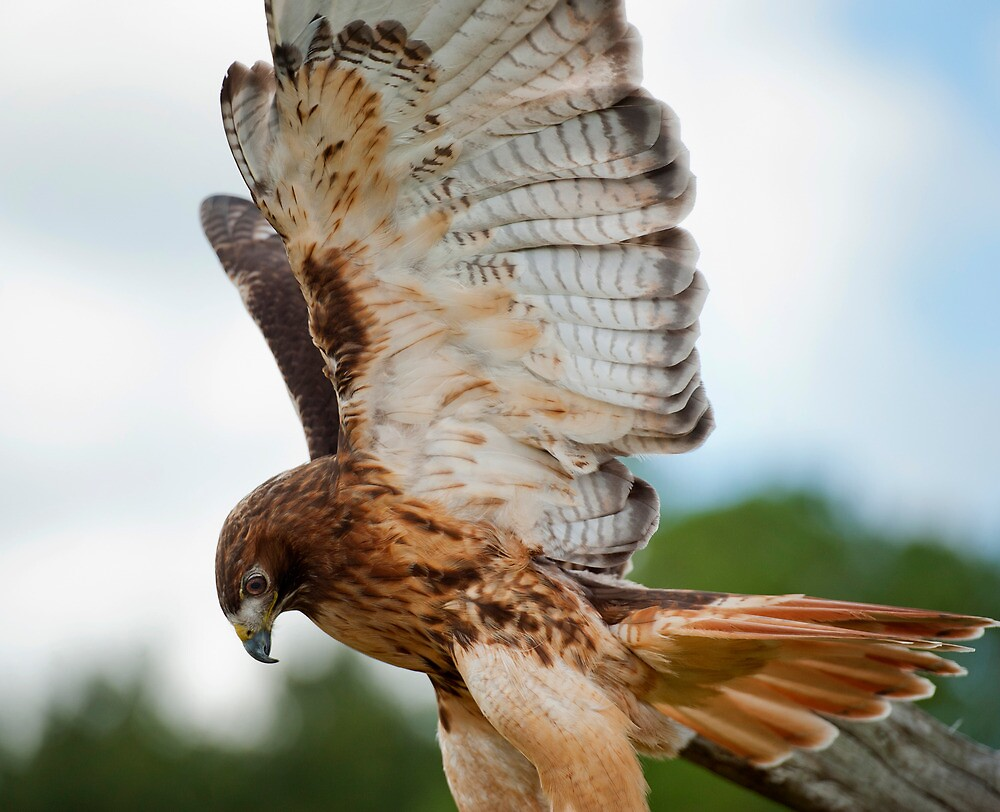 Red Tail Hawk by Saddleguy