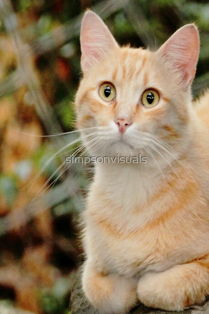 Marmalade Tabby Cat by simpsonvisuals