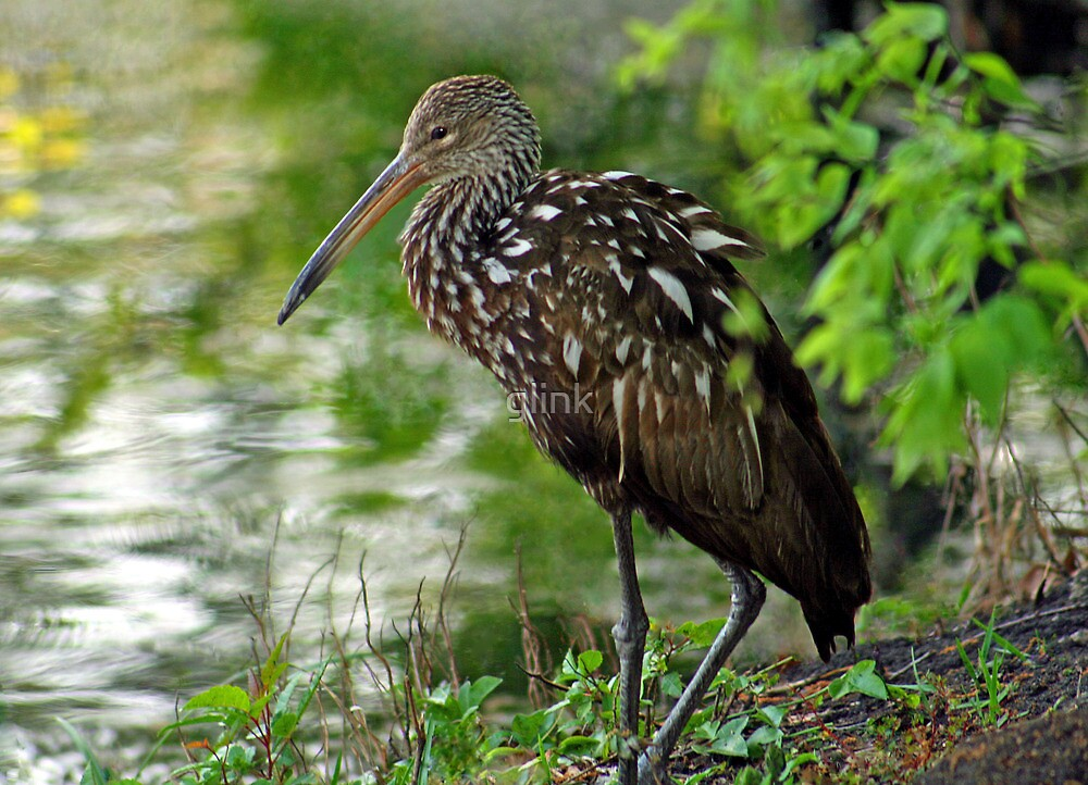 Limpkin at Lakeside by glink
