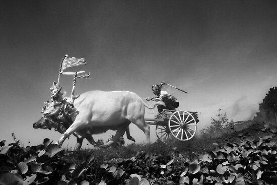 Balinese F1 Buffalo Race by I Nengah  Januartha