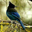 STELLAR BLUE JAY by RoseMarie747