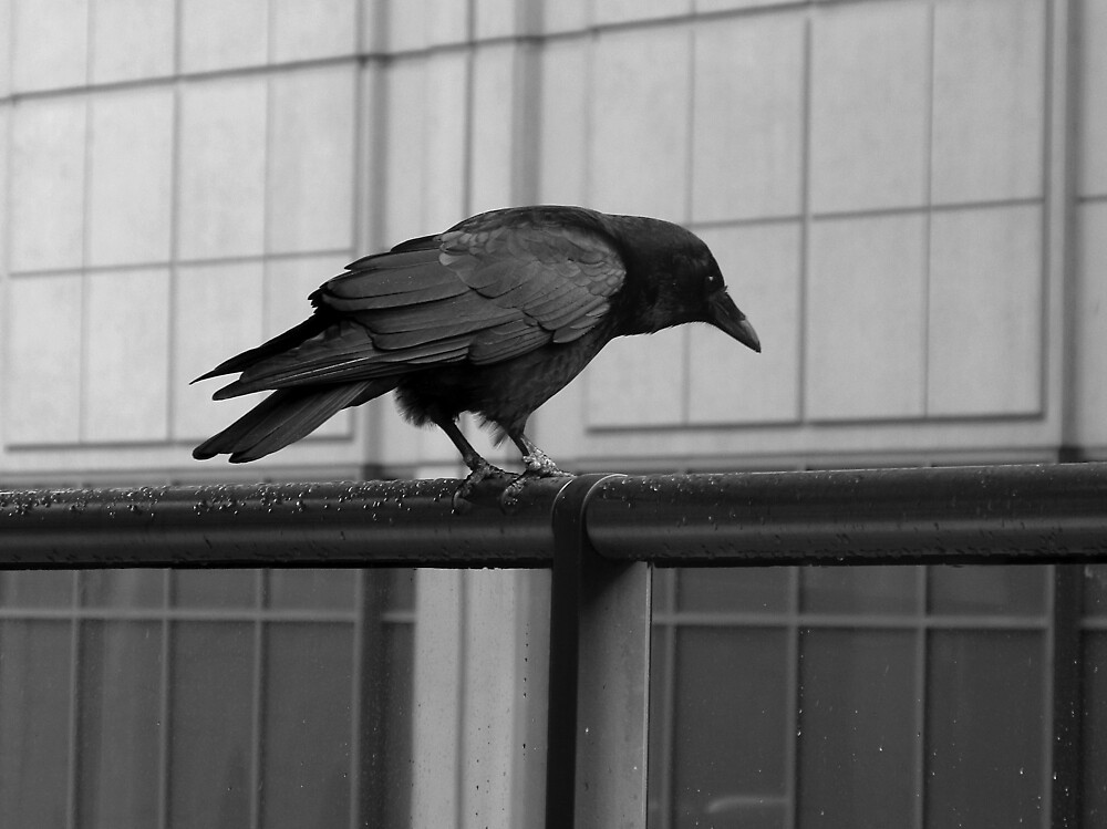 Observant Crow by OffOn
